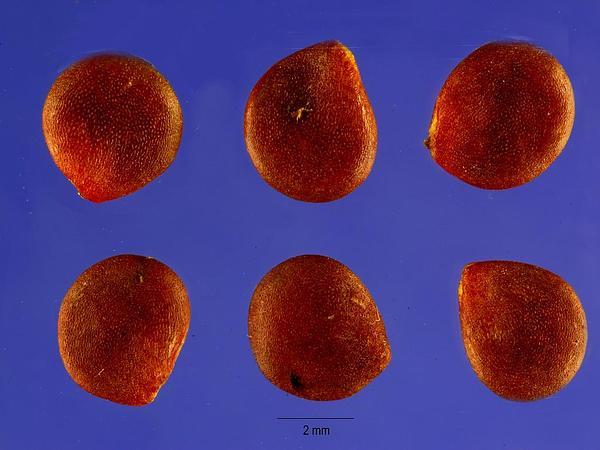 Nipplefruit (Solanum Mammosum) http://www.sagebud.com/nipplefruit-solanum-mammosum