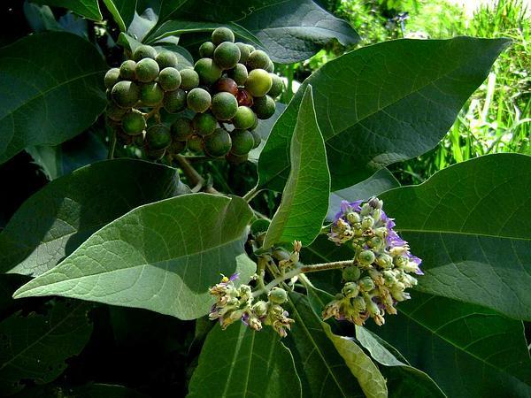 Earleaf Nightshade (Solanum Mauritianum) http://www.sagebud.com/earleaf-nightshade-solanum-mauritianum