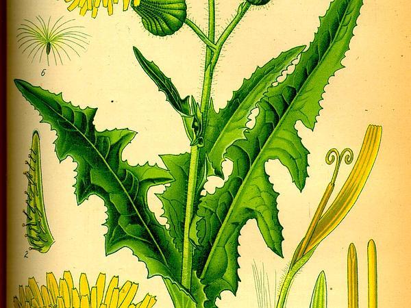 Sowthistle (Sonchus) http://www.sagebud.com/sowthistle-sonchus