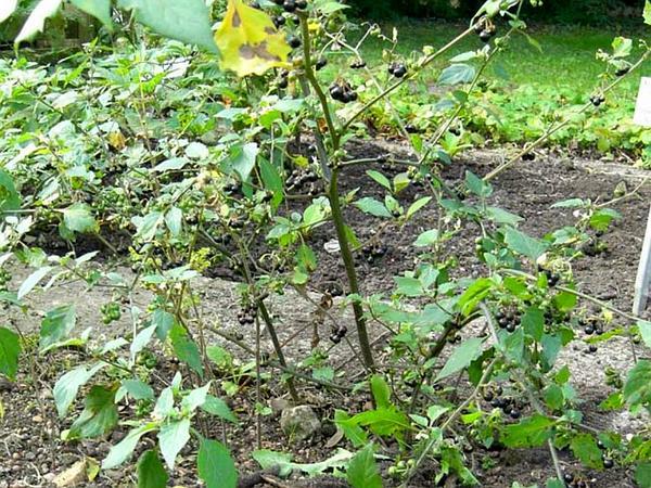Black Nightshade (Solanum Nigrum) http://www.sagebud.com/black-nightshade-solanum-nigrum