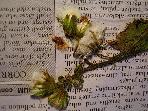 Common Sowthistle (Sonchus Oleraceus) http://www.sagebud.com/common-sowthistle-sonchus-oleraceus