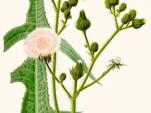 Marsh Sowthistle