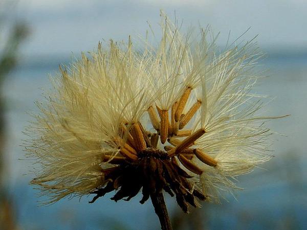 Marsh Sowthistle (Sonchus Palustris) http://www.sagebud.com/marsh-sowthistle-sonchus-palustris/