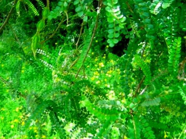 Necklacepod (Sophora) http://www.sagebud.com/necklacepod-sophora/