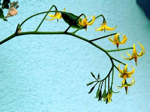 Currant Tomato (Solanum Pimpinellifolium) http://www.sagebud.com/currant-tomato-solanum-pimpinellifolium