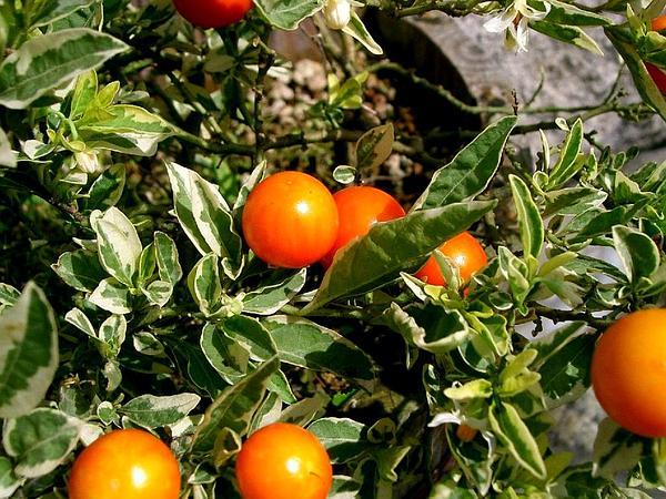 Jerusalem Cherry (Solanum Pseudocapsicum) http://www.sagebud.com/jerusalem-cherry-solanum-pseudocapsicum/