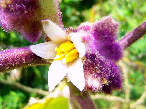 Naranjilla (Solanum Quitoense) http://www.sagebud.com/naranjilla-solanum-quitoense