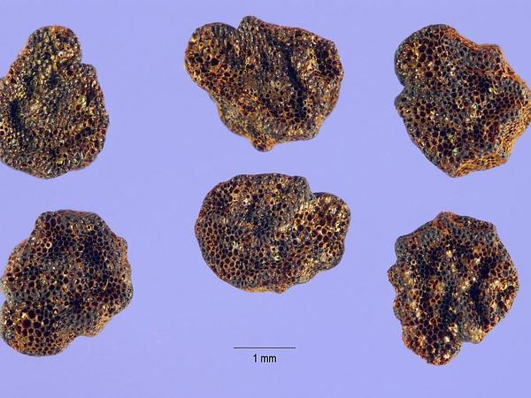 Buffalobur Nightshade (Solanum Rostratum) http://www.sagebud.com/buffalobur-nightshade-solanum-rostratum