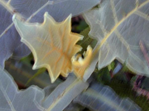 Shrubby Nightshade (Solanum Robustum) http://www.sagebud.com/shrubby-nightshade-solanum-robustum
