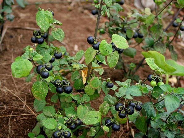 Garden-Huckleberry (Solanum Scabrum) http://www.sagebud.com/garden-huckleberry-solanum-scabrum/