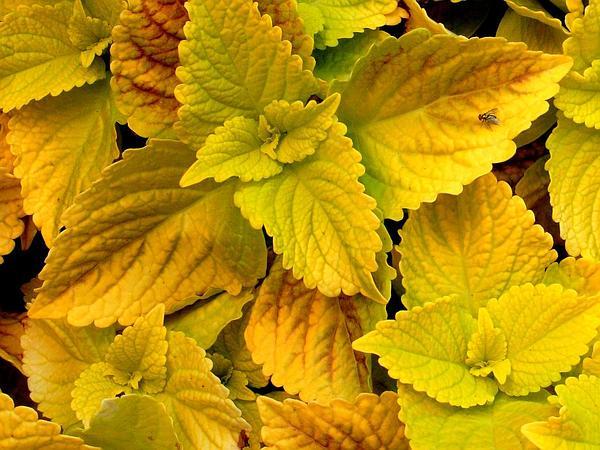 Common Coleus (Solenostemon Scutellarioides) http://www.sagebud.com/common-coleus-solenostemon-scutellarioides/