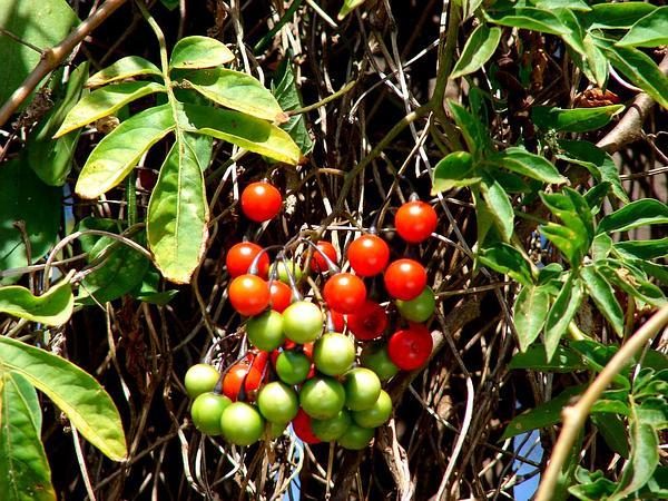 Brazilian Nightshade (Solanum Seaforthianum) http://www.sagebud.com/brazilian-nightshade-solanum-seaforthianum