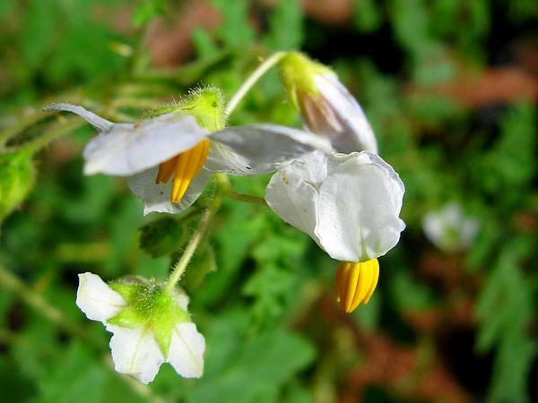 Sticky Nightshade (Solanum Sisymbriifolium) http://www.sagebud.com/sticky-nightshade-solanum-sisymbriifolium