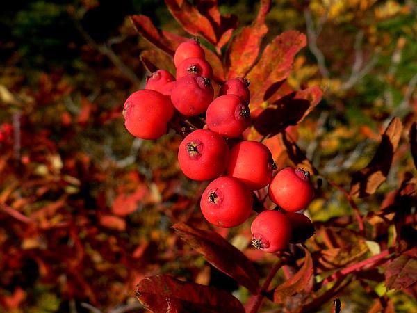 Western Mountain Ash (Sorbus Sitchensis) http://www.sagebud.com/western-mountain-ash-sorbus-sitchensis/