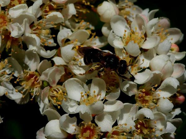 Western Mountain Ash (Sorbus Sitchensis) http://www.sagebud.com/western-mountain-ash-sorbus-sitchensis