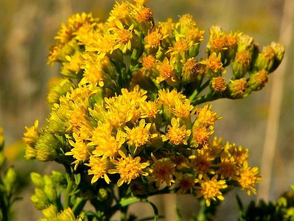 Nevada Goldenrod (Solidago Spectabilis) http://www.sagebud.com/nevada-goldenrod-solidago-spectabilis