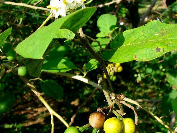 Turkey Berry (Solanum Torvum) http://www.sagebud.com/turkey-berry-solanum-torvum/