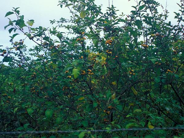 Turkey Berry (Solanum Torvum) http://www.sagebud.com/turkey-berry-solanum-torvum