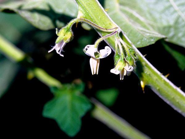 Tropical Soda Apple (Solanum Viarum) http://www.sagebud.com/tropical-soda-apple-solanum-viarum/