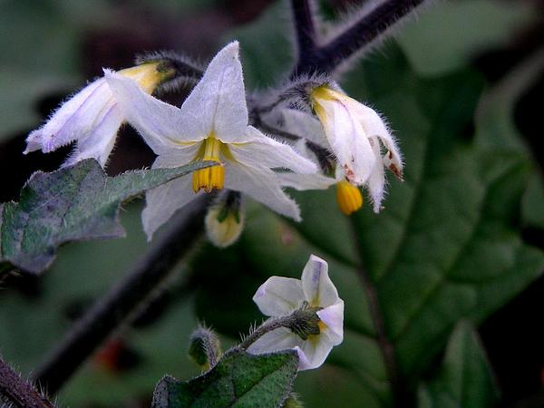 Hairy Nightshade (Solanum Villosum) http://www.sagebud.com/hairy-nightshade-solanum-villosum/