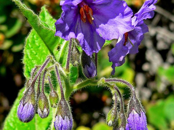 Catalina Nightshade (Solanum Wallacei) http://www.sagebud.com/catalina-nightshade-solanum-wallacei