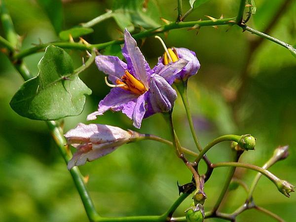 Giant Potatocreeper (Solanum Wendlandii) http://www.sagebud.com/giant-potatocreeper-solanum-wendlandii
