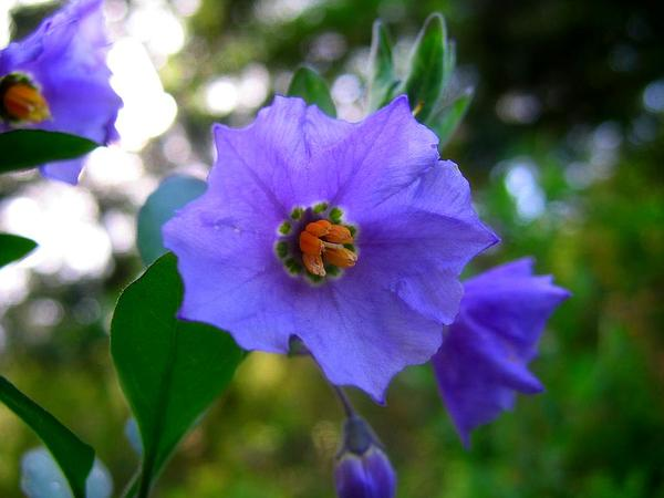 Chaparral Nightshade (Solanum Xanti) http://www.sagebud.com/chaparral-nightshade-solanum-xanti/