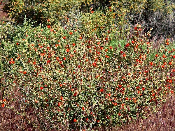 Desert Globemallow (Sphaeralcea Ambigua) http://www.sagebud.com/desert-globemallow-sphaeralcea-ambigua
