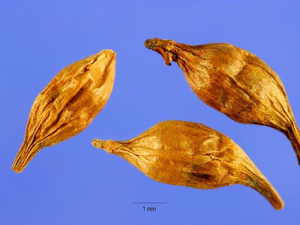 Narrowleaf Bur-Reed (Sparganium Angustifolium) http://www.sagebud.com/narrowleaf-bur-reed-sparganium-angustifolium
