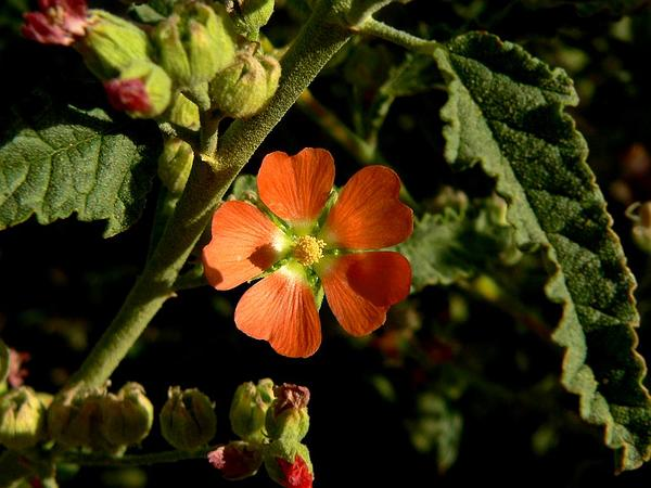 Copper Globemallow (Sphaeralcea Angustifolia) http://www.sagebud.com/copper-globemallow-sphaeralcea-angustifolia/