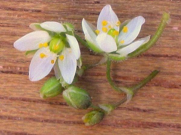 Corn Spurry (Spergula Arvensis) http://www.sagebud.com/corn-spurry-spergula-arvensis