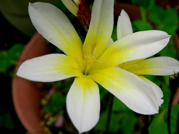 Wandflower (Sparaxis) http://www.sagebud.com/wandflower-sparaxis/