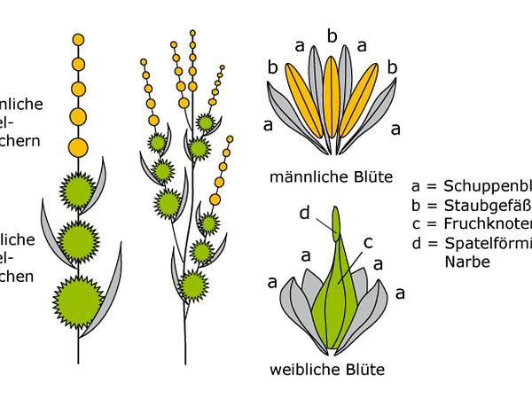 Bur-Reed (Sparganium) http://www.sagebud.com/bur-reed-sparganium