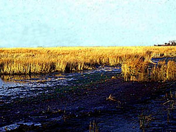 Cordgrass (Spartina) http://www.sagebud.com/cordgrass-spartina