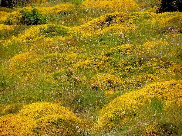 Broom (Spartium) http://www.sagebud.com/broom-spartium