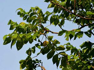 SPATH/African_Tulip_Tree_(Spathodea_campanulata)_at_Secunderabad_W_IMG_6625_300.jpg
