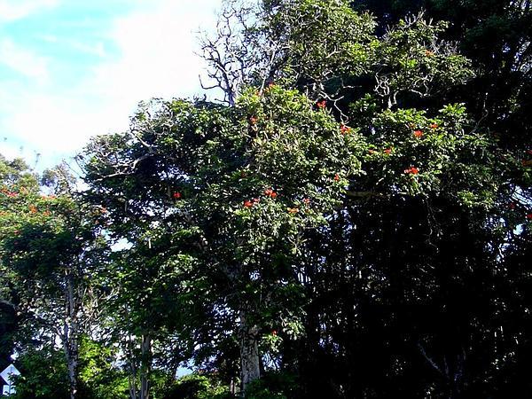 Spathodea (Spathodea) http://www.sagebud.com/spathodea-spathodea/