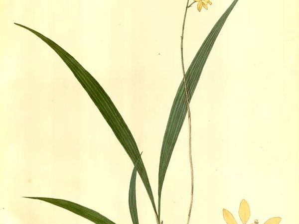 Ground Orchid (Spathoglottis) http://www.sagebud.com/ground-orchid-spathoglottis/