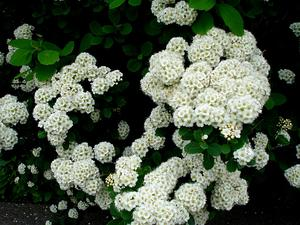 SPBE2/Spiraea_betulifolia1UME_300.jpg