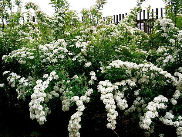 Reeves' Meadowsweet (Spiraea Cantoniensis) http://www.sagebud.com/reeves-meadowsweet-spiraea-cantoniensis