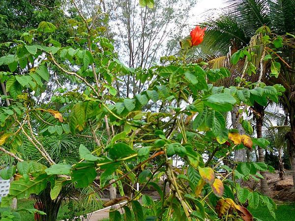 African Tuliptree (Spathodea Campanulata) http://www.sagebud.com/african-tuliptree-spathodea-campanulata