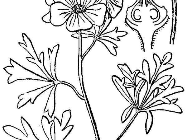 Scarlet Globemallow (Sphaeralcea Coccinea) http://www.sagebud.com/scarlet-globemallow-sphaeralcea-coccinea