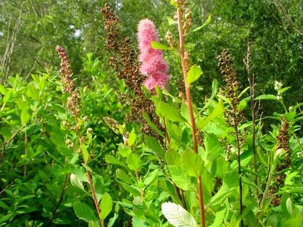 Rose Spirea (Spiraea Douglasii) http://www.sagebud.com/rose-spirea-spiraea-douglasii/