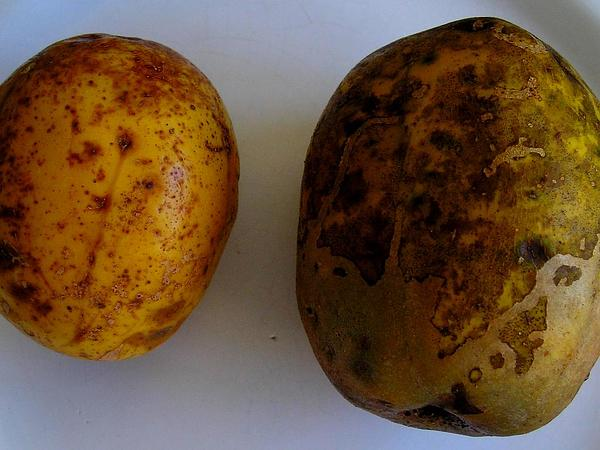 Jewish Plum (Spondias Dulcis) http://www.sagebud.com/jewish-plum-spondias-dulcis