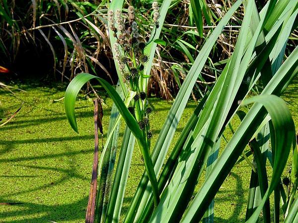 Simplestem Bur-Reed (Sparganium Erectum) http://www.sagebud.com/simplestem-bur-reed-sparganium-erectum/