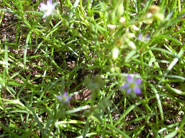 Sandspurry (Spergularia) http://www.sagebud.com/sandspurry-spergularia