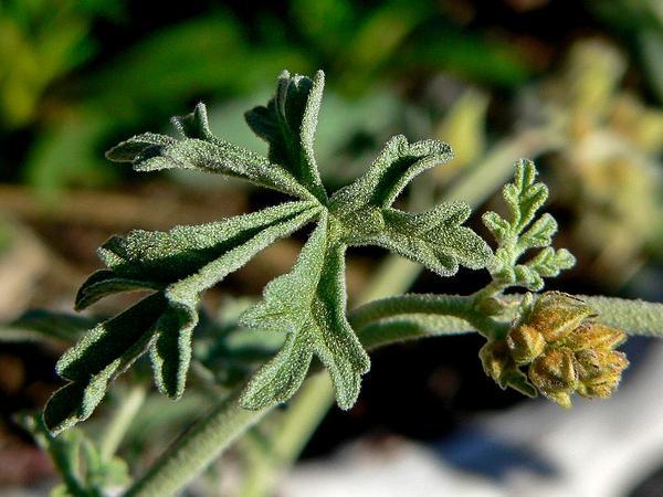 Gooseberryleaf Globemallow (Sphaeralcea Grossulariifolia) http://www.sagebud.com/gooseberryleaf-globemallow-sphaeralcea-grossulariifolia