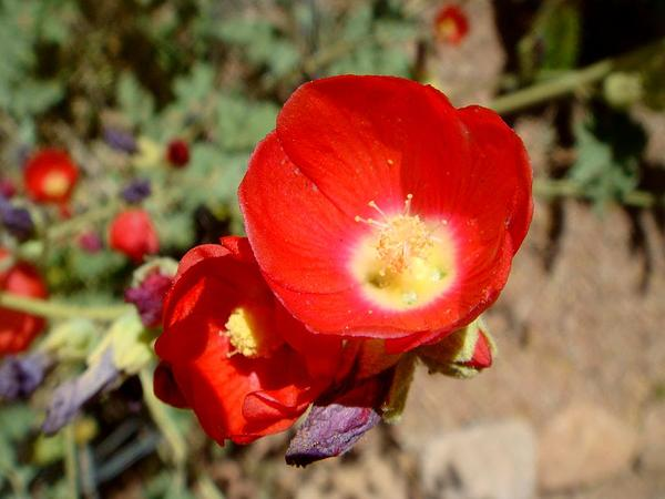 Globemallow (Sphaeralcea) http://www.sagebud.com/globemallow-sphaeralcea/