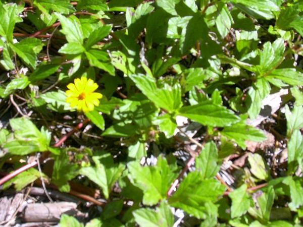 Creeping-Oxeye (Sphagneticola) http://www.sagebud.com/creeping-oxeye-sphagneticola/