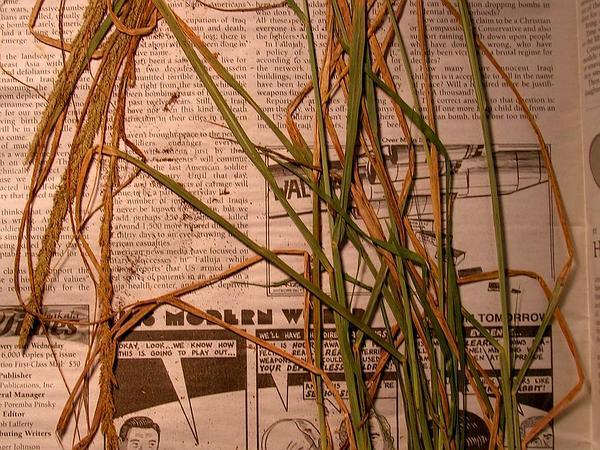 Smut Grass (Sporobolus Indicus) http://www.sagebud.com/smut-grass-sporobolus-indicus